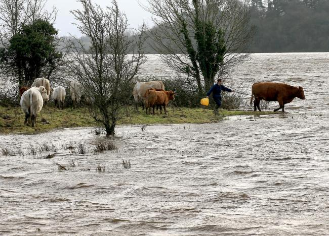Cattle close to floodwater near Upper Lough Erne.