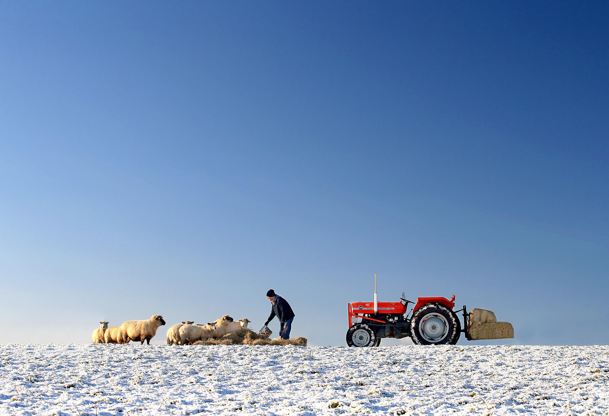 Raymond McVitty feeding sheep in the snow - a scene from January 2016 in the calendar.