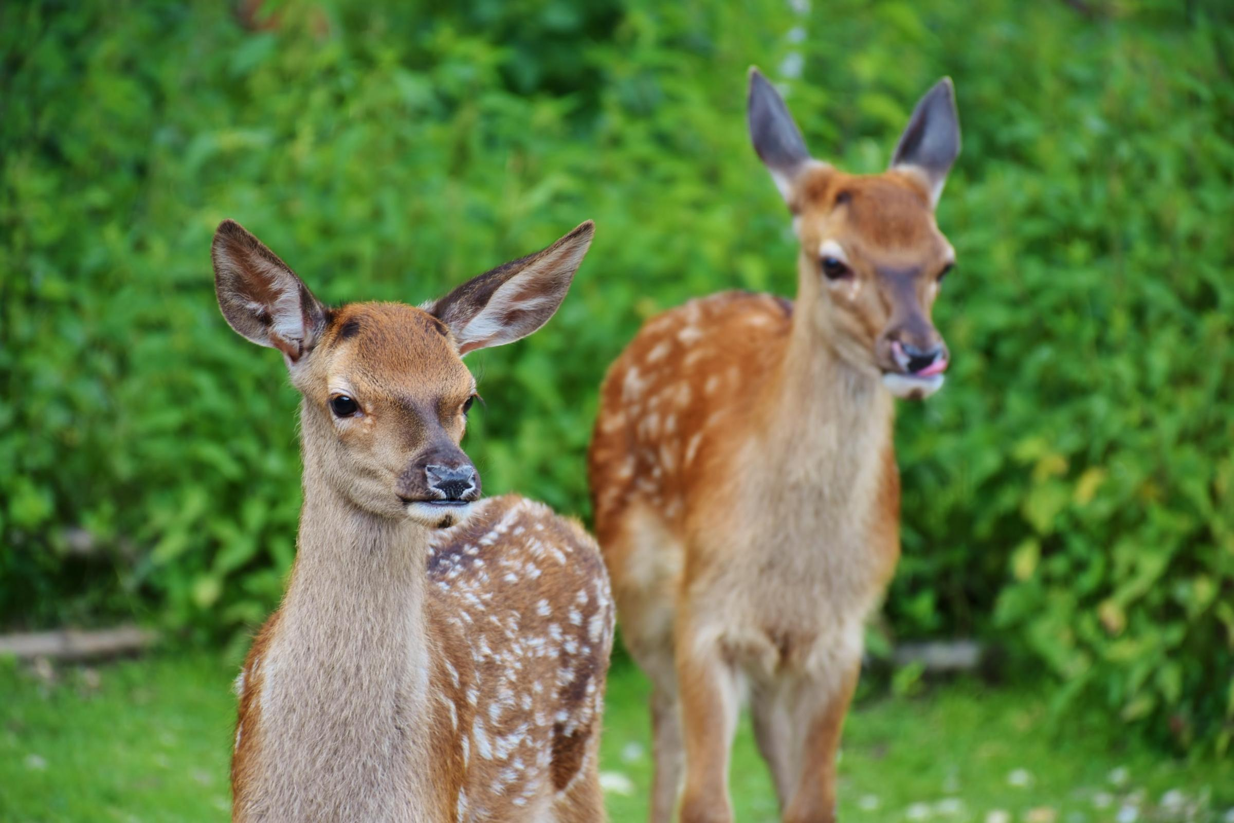 Deer being shot to order in Clogher Valley